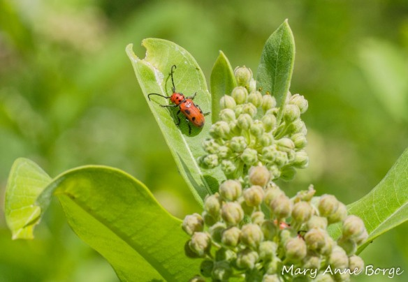 Red Milkweed Beetle (Tetraopes tetraophthalmus) on Common Milkweed