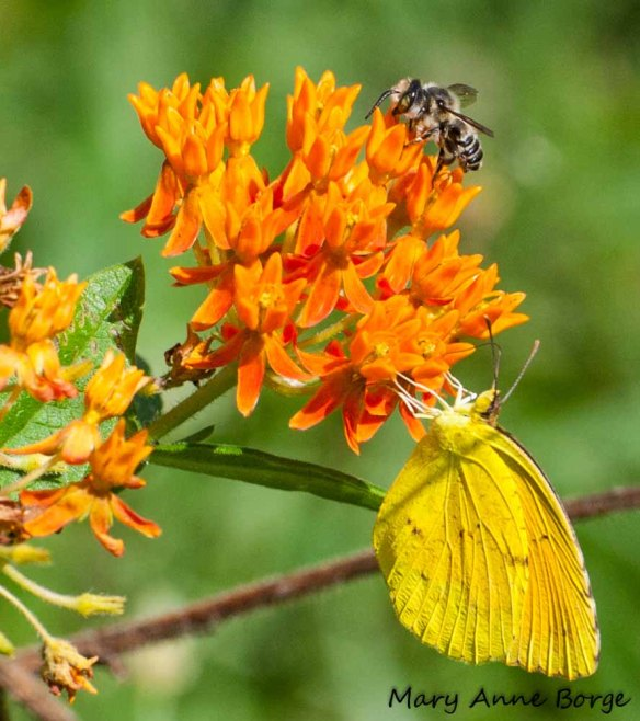 Sleepy Orange and Andrena bee on Butterflyweed (Asclepias tuberosa)