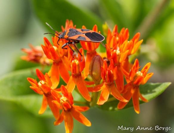 Small Milkweed Bug (Lygaeus kalmii) on Butterflyweed (Asclepias tuberosa)