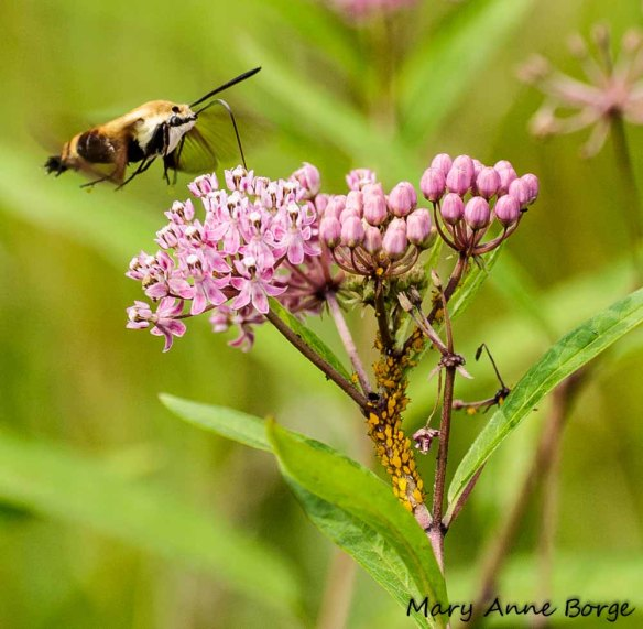 Snowberry Clearwing Moth (Hemaris diffinis) and Oleander Aphids (Aphis nerii) on Swamp Milkweed (Asclepias incarnata)