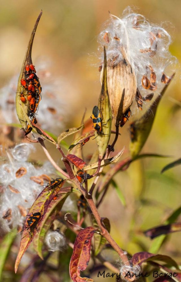 Swamp Milkweed with Large Milkweed Bugs (Oncopeltus fasciatus) , adults and nymphs