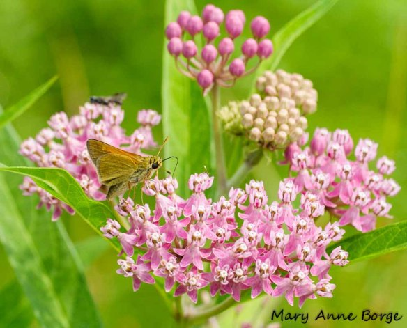 Tawny-edged Skipper on Swamp Milkweed (Asclepias incarnata)