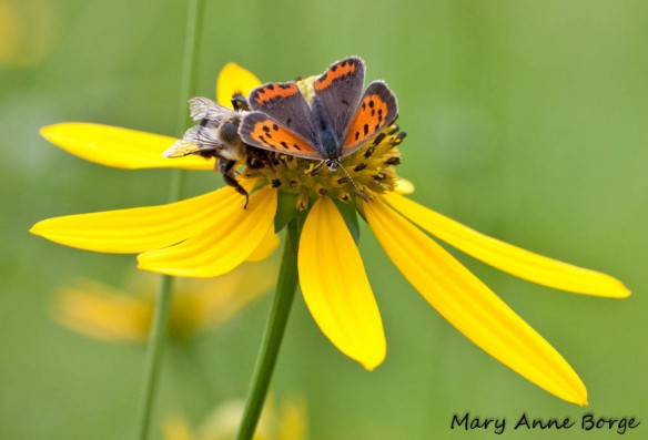 Green-headed Coneflower (Rudbeckia laciniata) with American Copper and Bumble Bee