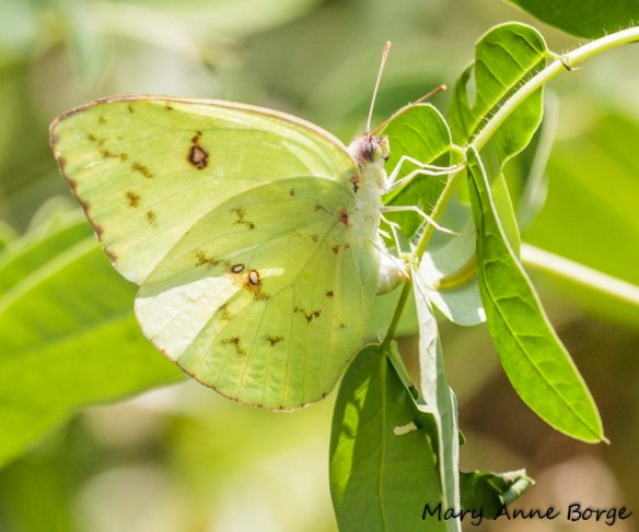 Cloudless Sulphur on Wild Senna (Senna hebecarpa) laying egg opposite leaf where a Sleepy Orange caterpillar is hiding