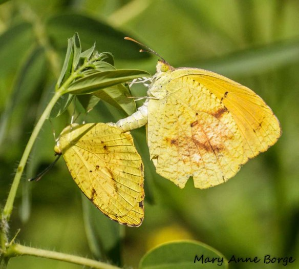 Sleepy Orange butterflies, mating