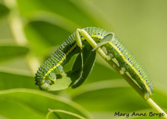 Cloudless Sulphur caterpillar eating leaflet of Wild Senna (Senna hebecarpa)