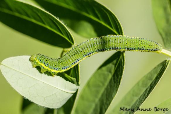 Cloudless Sulphur caterpillar on Wild Senna (Senna hebecarpa)