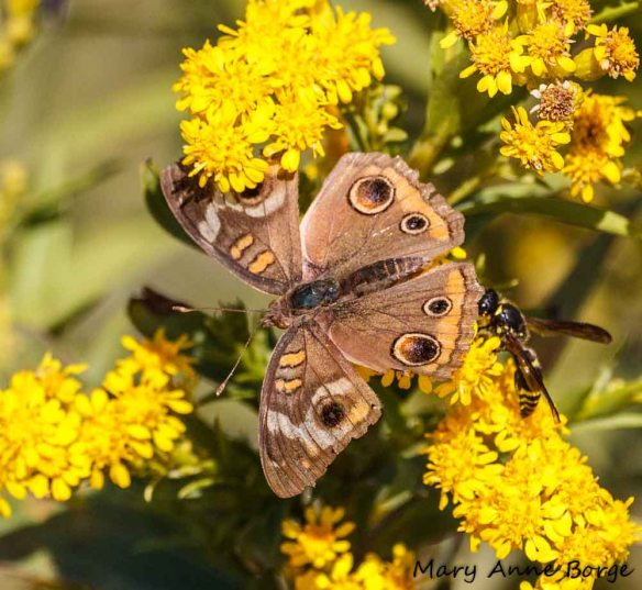 Common Buckeye and Potter Wasp on Goldenrod