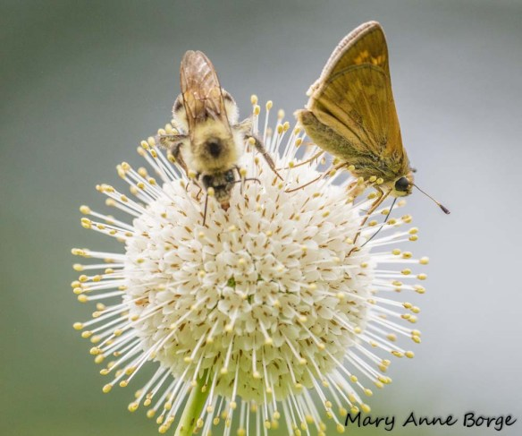 Indian Skipper and Bumble Bee nectaring on Buttonbush (Cephalanthus occidentalis)