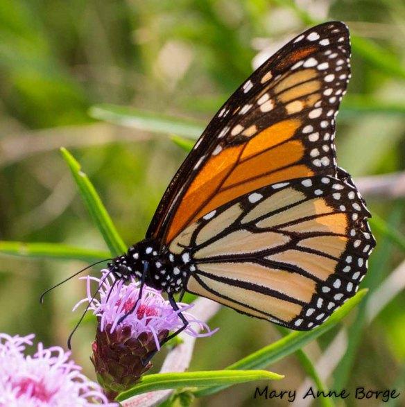 Monarch on Northern Blazing Star (Liatris scariosa)