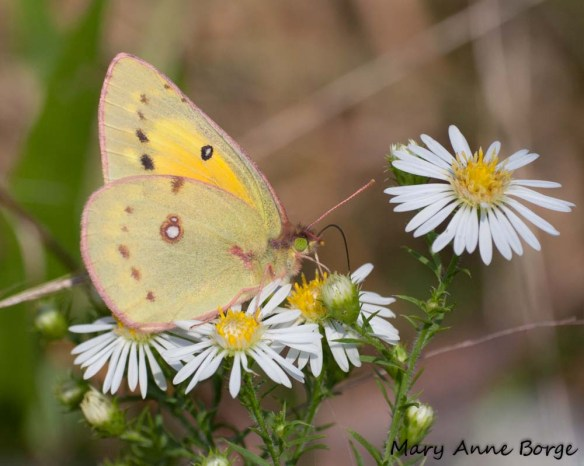 Orange Sulphur nectaring on Aster