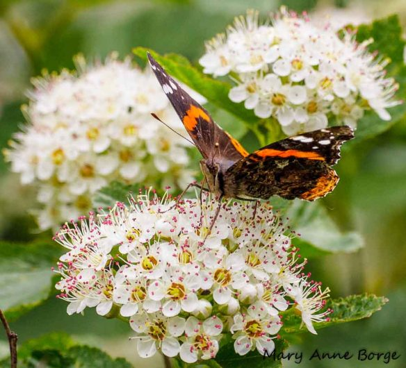 Red Admiral Nectaring on Ninebark