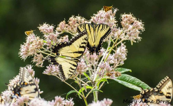 Eastern Tiger Swallowtails and Peck's Skippers nectaring on Joe-pye-weed (Eupatoriadelphus species)