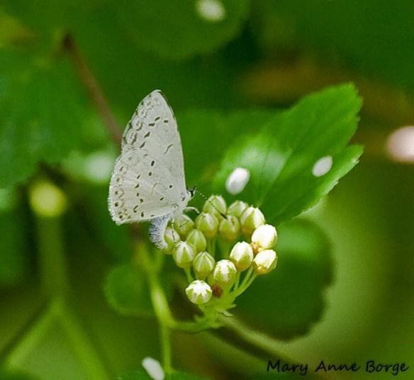 Azure laying eggs (ovipositing) on  Ninebark (Physocarpus opulifolius)