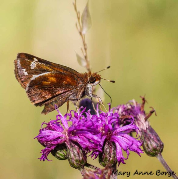 Zabulon Skipper nectaring on New York Ironweed (Vernonia noveboracensis)