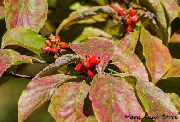 Flowering Dogwood fruit