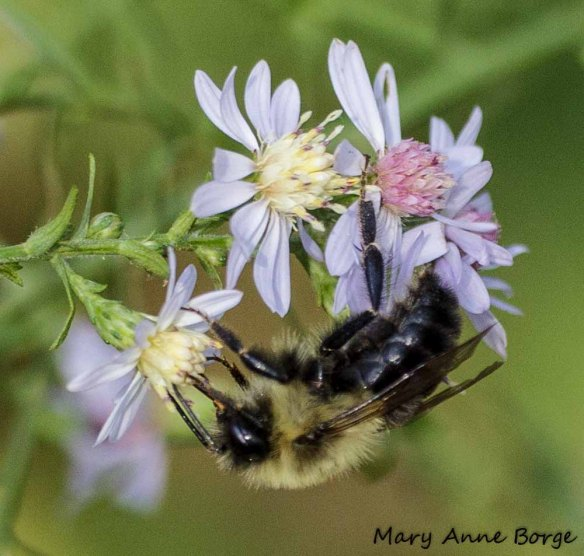 Blue Wood Aster with Bumble Bee