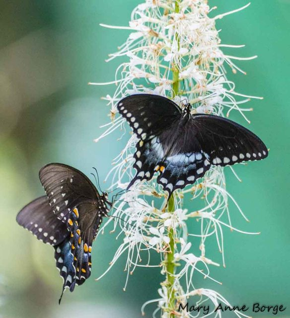 Spicebush Swallowtails nectaring on Bottlebrush Buckeye