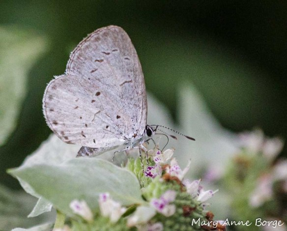 Summer Azure nectaring on Short-toothed Mountain Mint