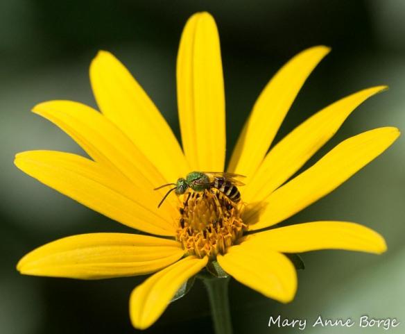 Sweat Bee (Agapostemom species) on False Sunflower (Heliopsis helianthoides)