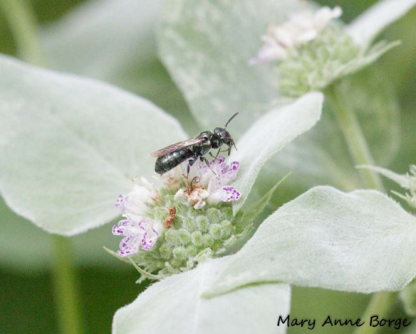 Sweat Bee (Lasioglossum species) on Short-toothed Mountain Mint
