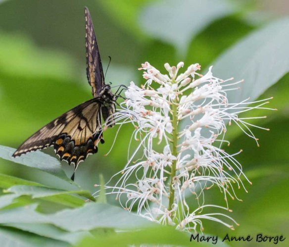 Dark form Eastern Tiger Swallowtail nectaring on Bottlebrush Buckeye