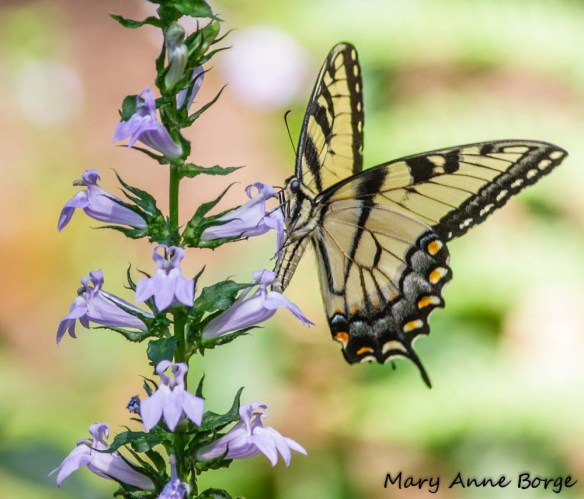 Eastern Tiger Swallowtail nectaring on Great Blue Lobelia