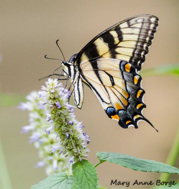 Eastern Tiger Swallowtail nectaring on Purple Giant Hyssop