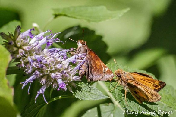 Courting Zabulon Skippers on Purple Giant Hyssop