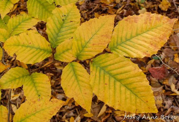 American Beech (Fagus grandifolia ) Leaves in Fall
