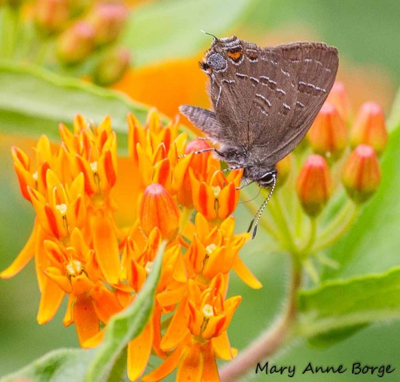 Banded Hairstreak on Butterflyweed. Their caterpillars feed on the leaves of Black Walnut and other woody species