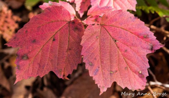 Maple-leaf Viburnum (Viburnum acerifolium)