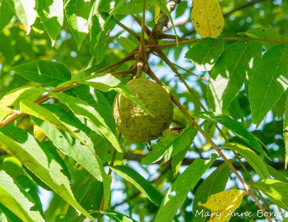 Black Walnut (Junglans nigra)