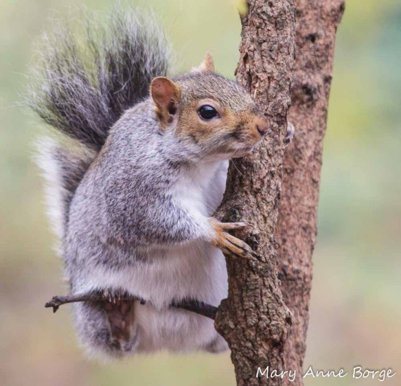 Eastern Gray Squirrels eat and help disperse Walnuts