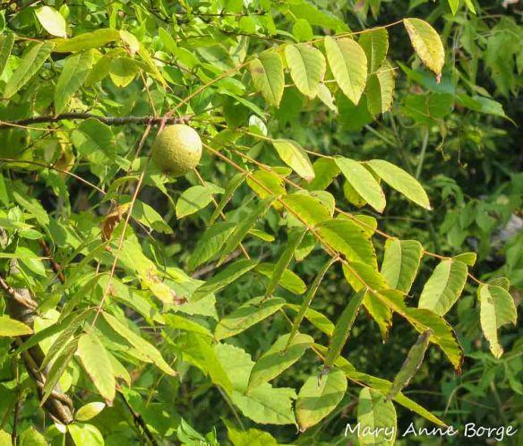 Black Walnut Tree (Juglans nigra)