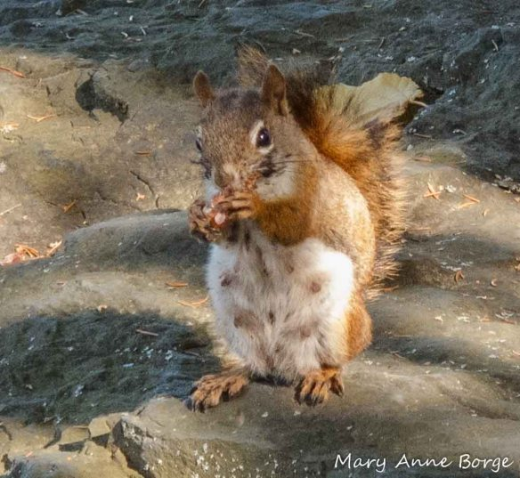 Red Squirrels also enjoy many tree nuts, including Walnuts