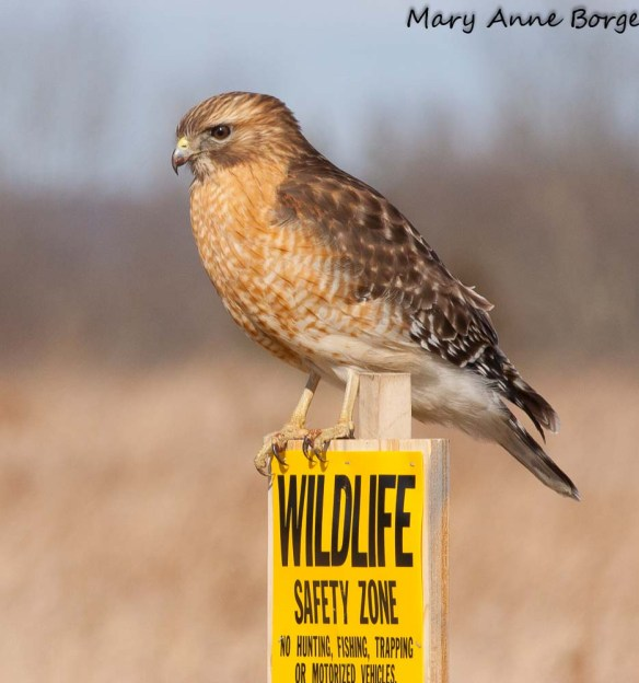 Red-shouldered Hawks, as well as most other raptors, hunt and eat small mammals