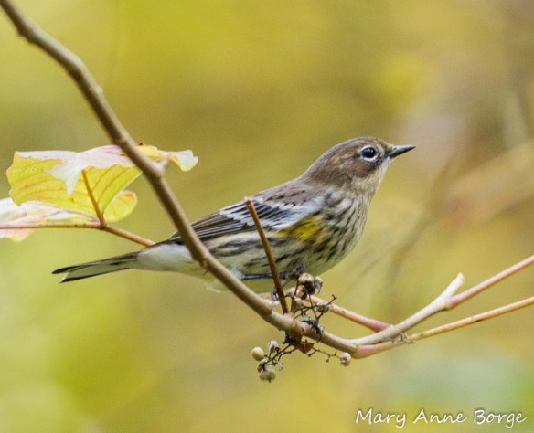 Yellow-rumped Warbler with Poison Ivy Fruit