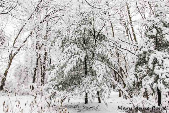 Snow covered White Pine (Pinus strobus)