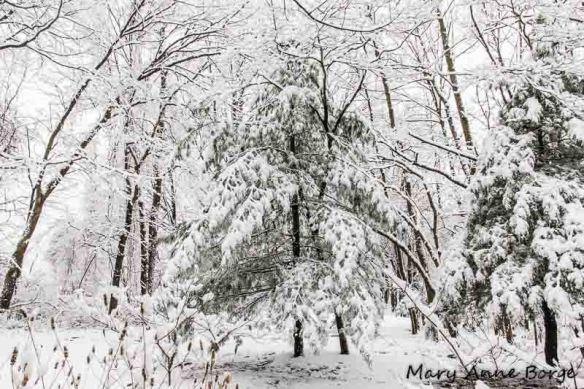 Snow covered White Pine (Pinus strobus)