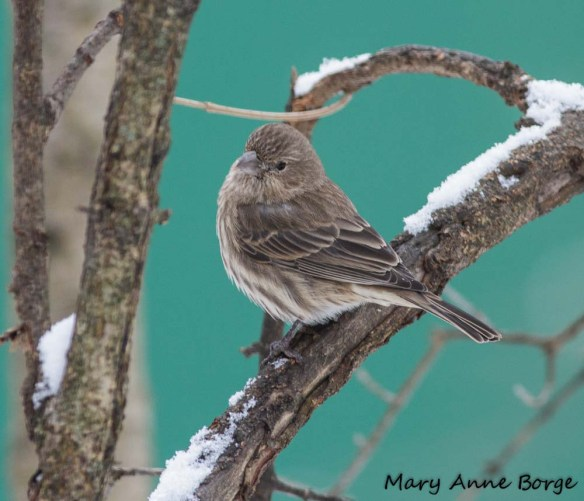 House Finch, female