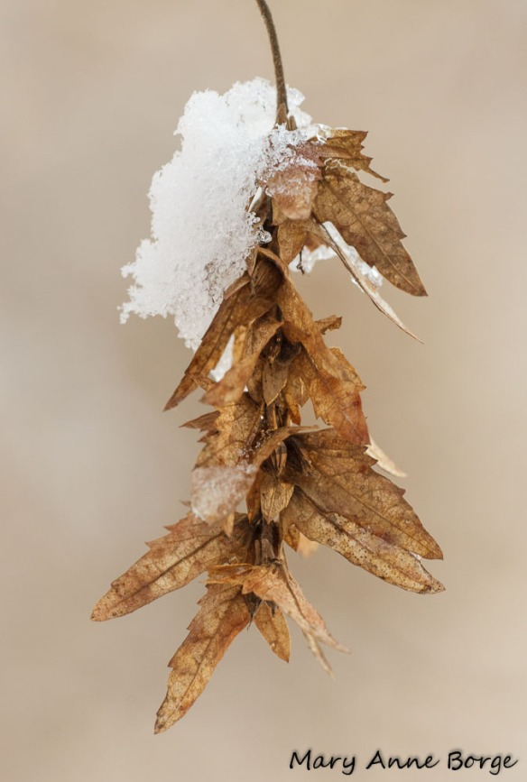 Ironwood, also called American Hornbeam (Carpinus caroliniana)