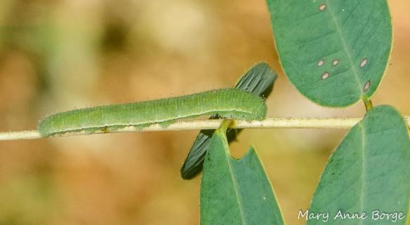 Sleepy Orange Caterpillar