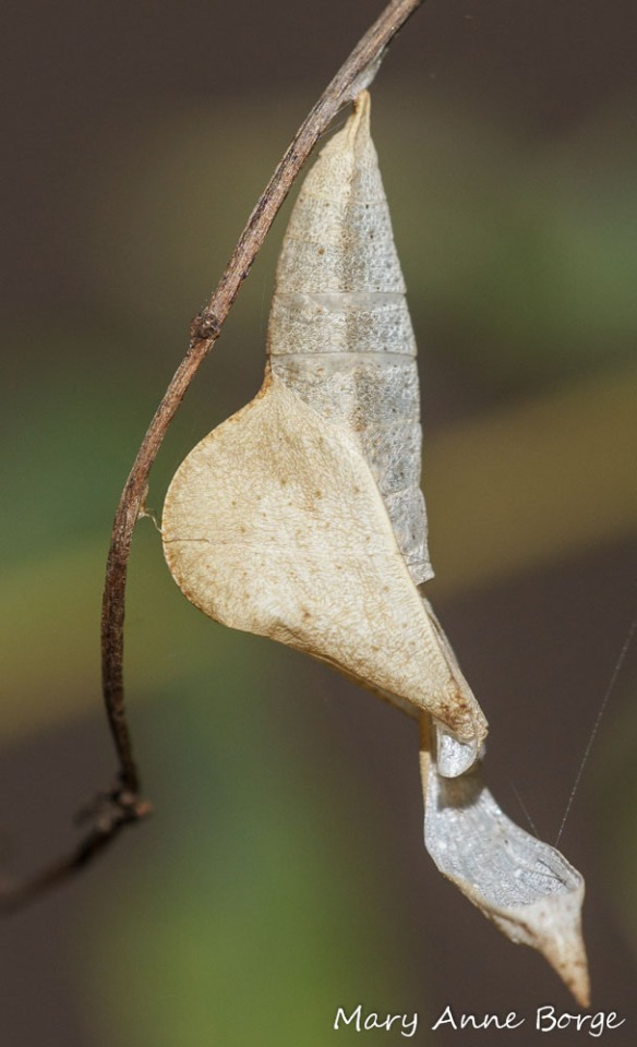 Empty Sleepy Orange Chrysalis - the butterfly has already emerged