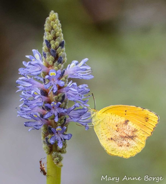 Sleepy Orange Nectaring on Pickerelweed (Pontederia cordata)