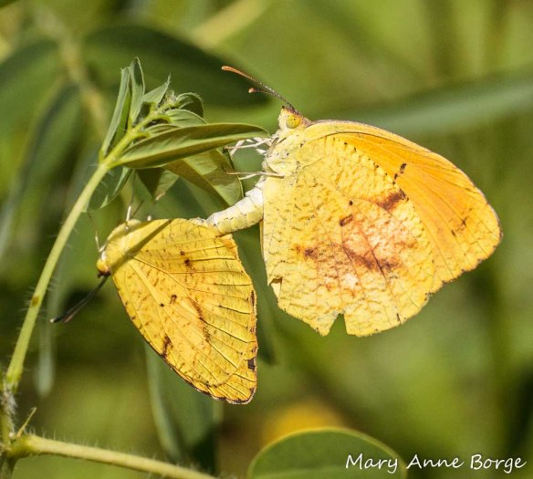 Sleepy Oranges mating on Wild Senna