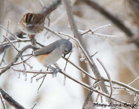 Tufted Titmouse and White-throated Sparrow on ice