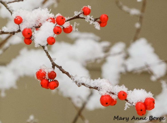 Winterberry Holly (Ilex verticillata)