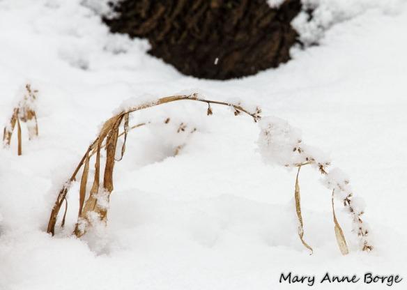 Wreath Goldenrod (Solidago caesia)
