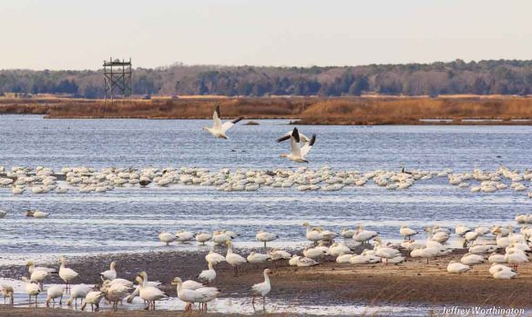 Snow Geese at Forsythe National Wildlife Refuge